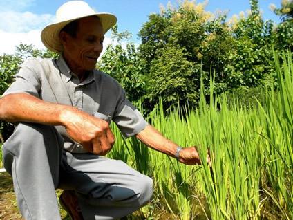 Vicente Castrellón muestra su cultivo de arroz biofortificado. Este campesino de 69 años brinda asesoría a los demás productores del distrito de Olá, en Panamá, que participan en el programa Agro Nutre. Crédito: Fabíola Ortiz/IPS