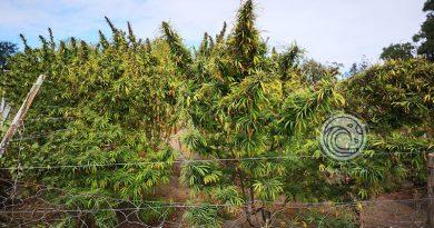 Ferrés : Gobierno quiere impulsar el  cannabis medicinal y el cáñamo